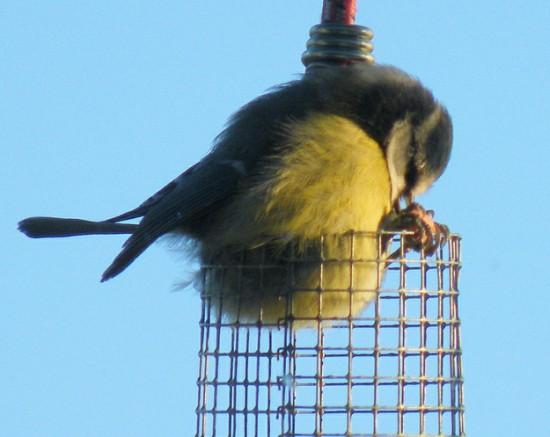 丸い,可愛い,鳥,画像008