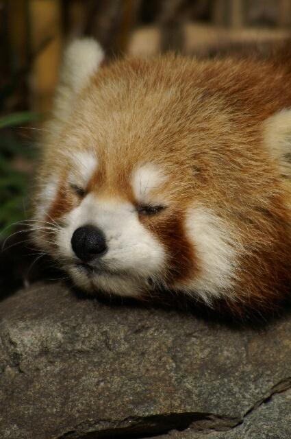 可愛すぎる,動物,寝顔,画像010