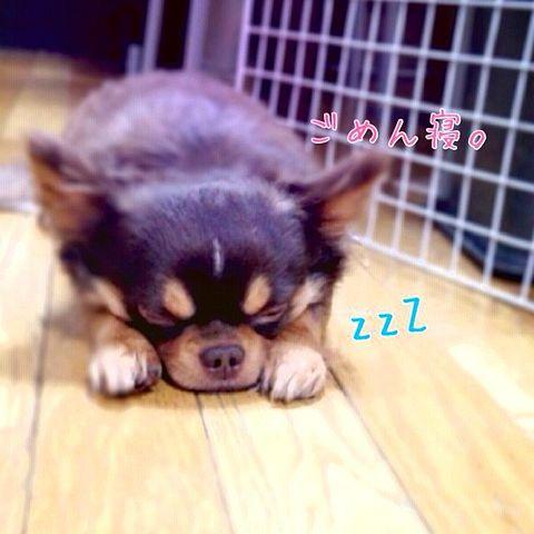 ワンちゃん,すまん寝,ごめん寝,画像013