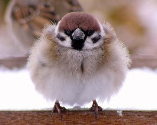 丸い,可愛い,鳥,画像018
