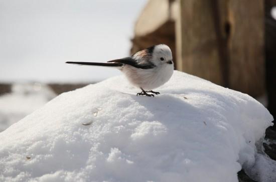 丸い,可愛い,鳥,画像020