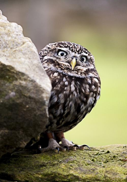 丸い,可愛い,鳥,画像029