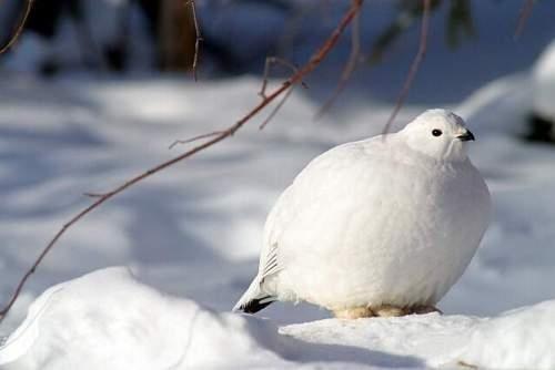 丸い,可愛い,鳥,画像030
