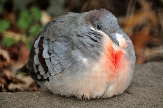 丸い,可愛い,鳥,画像032