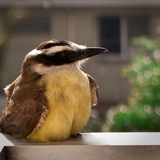 丸い,可愛い,鳥,画像035
