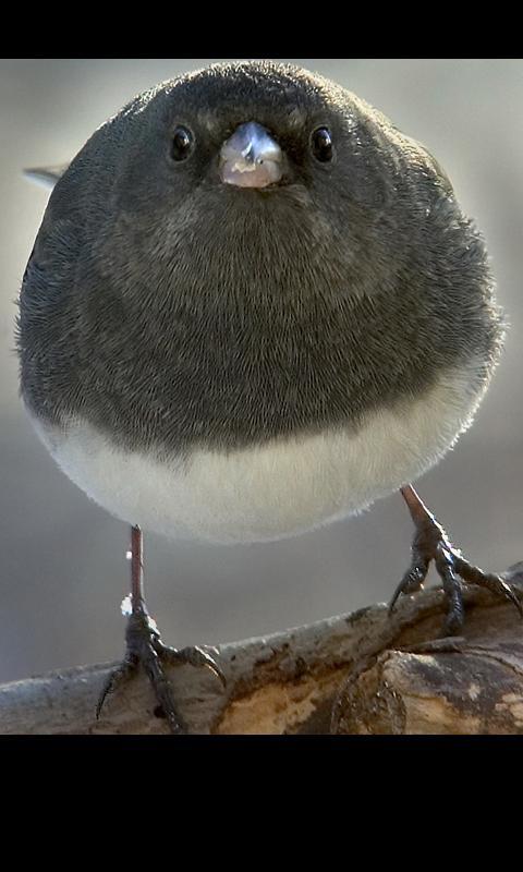 丸い,可愛い,鳥,画像038