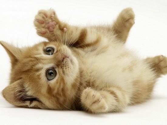 悶絶,可愛い,猫,画像,まとめ015