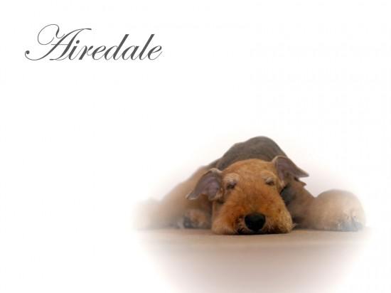 エアデールテリア,犬,可愛い画像,まとめ009