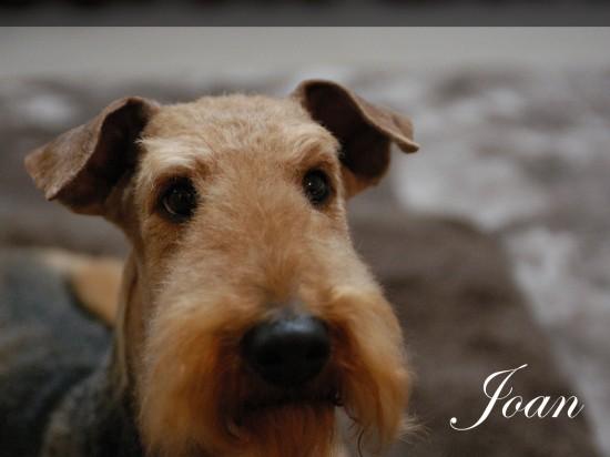 エアデールテリア,犬,可愛い画像,まとめ010