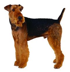 エアデールテリア,犬,可愛い画像,まとめ013