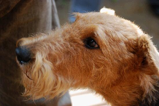 エアデールテリア,犬,可愛い画像,まとめ014