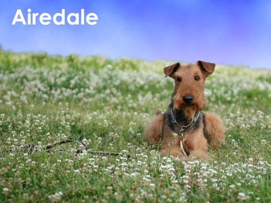 エアデールテリア,犬,可愛い画像,まとめ016