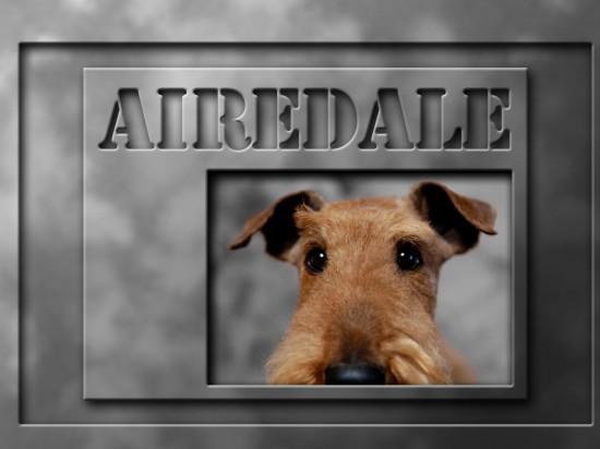 エアデールテリア,犬,可愛い画像,まとめ017