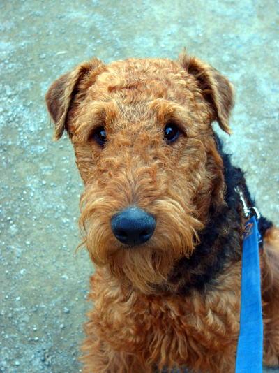 エアデールテリア,犬,可愛い画像,まとめ018