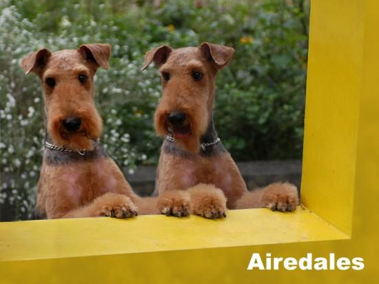 エアデールテリア,犬,可愛い画像,まとめ019