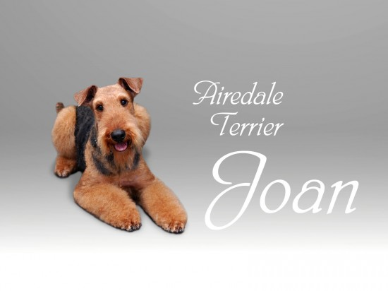 エアデールテリア,犬,可愛い画像,まとめ021