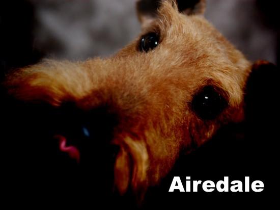 エアデールテリア,犬,可愛い画像,まとめ022