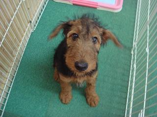 エアデールテリア,犬,可愛い画像,まとめ023