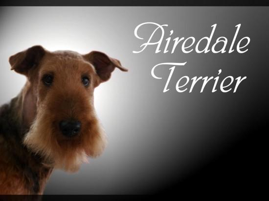 エアデールテリア,犬,可愛い画像,まとめ025
