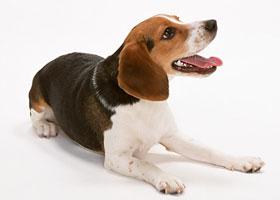愛し,ビーグル,犬,画像,003