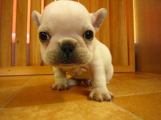 ぶちゃ,可愛い,鼻ぺちゃ,犬,猫,画像,ぶさ可愛い003