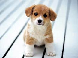 愛し,ビーグル,犬,画像,004