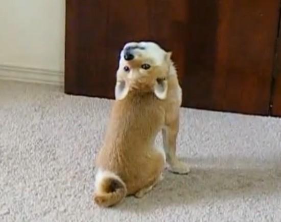 可愛すぎる,柴犬,画像004