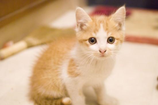 可愛く,子猫,画像005