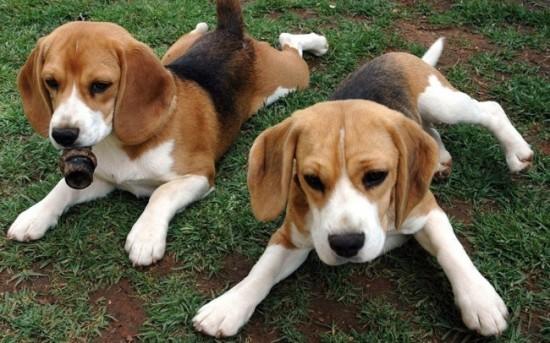 愛し,ビーグル,犬,画像,005