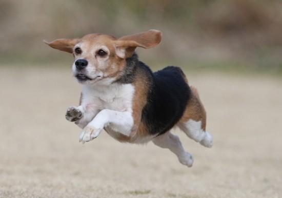 愛し,ビーグル,犬,画像,006