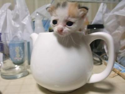 可愛く,コップ,入る,猫,画像009