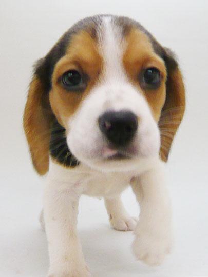 愛し,ビーグル,犬,画像,012