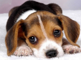 愛し,ビーグル,犬,画像,014