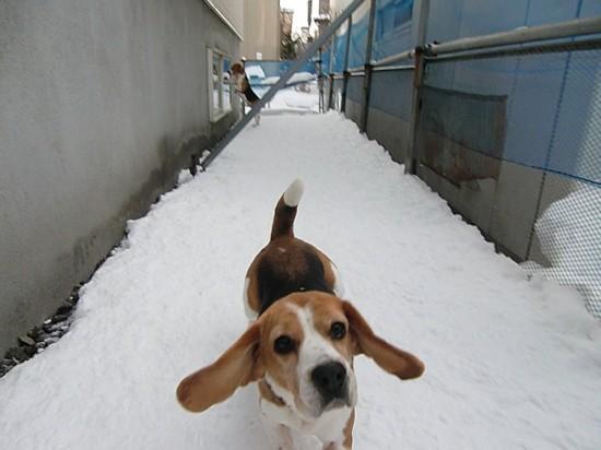 愛し,ビーグル,犬,画像,018