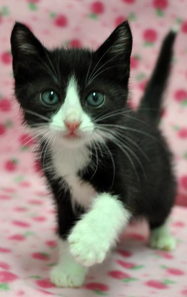 可愛い,ハチワレ,猫,画像026