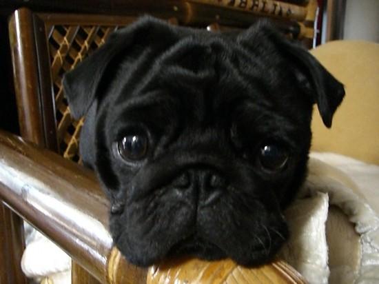 パグ,ブルドック,ボストンテリア,くしゃくしゃ顔,可愛い,画像030