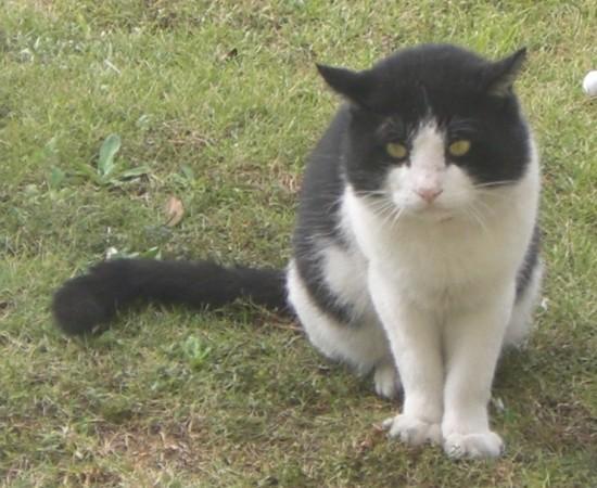可愛い,ハチワレ,猫,画像035