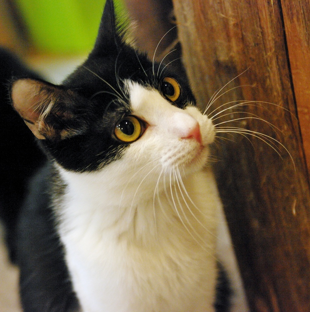 可愛い,ハチワレ,猫,画像048