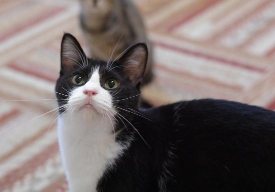 可愛い,ハチワレ,猫,画像050