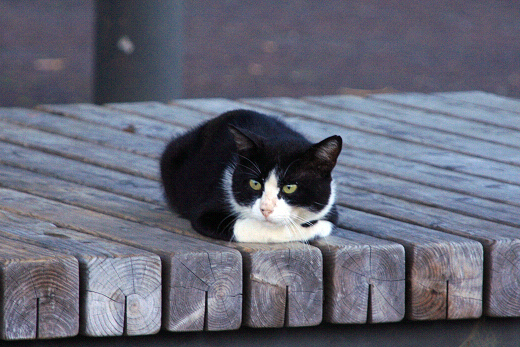 可愛い,ハチワレ,猫,画像065