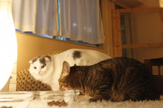猫カフェ,可愛い,にゃんこ,画像070