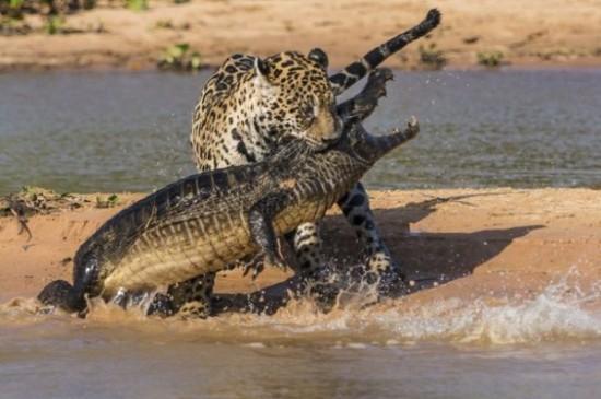 本能,剥き出し,命をかけた,動物たち,戦い,画像010