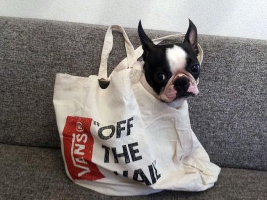 可愛すぎ,袋,鞄,入る,犬,画像-1