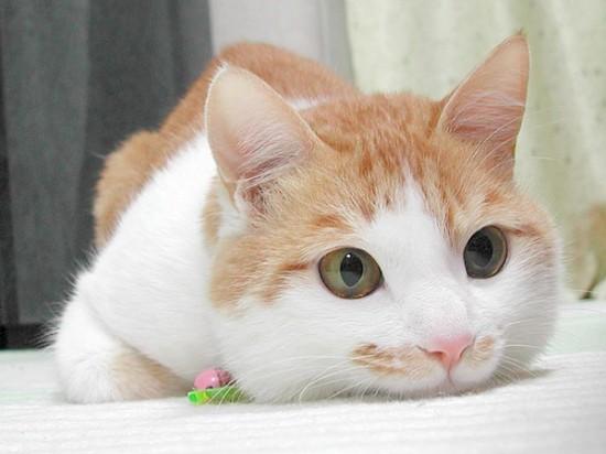可愛い,猫,画像,貼っていく001