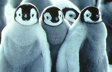 可愛すぎる,コウテイ,ペンギン,赤ちゃん,画像,貼っていく001