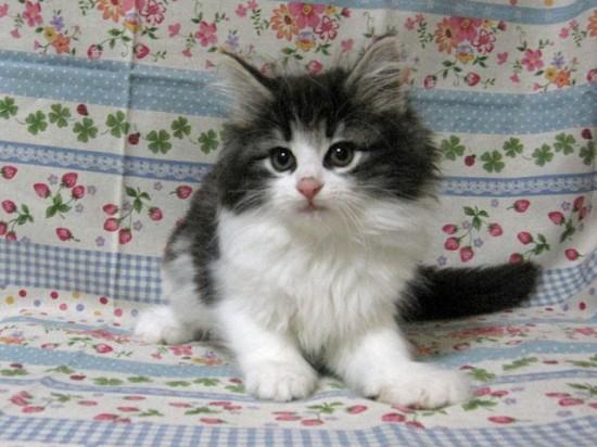 甘えん坊,寂しがり屋,猫,ノルウェージャンフォレストキャット,画像,貼っていく001
