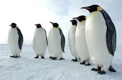 可愛く,悶える,ペンギン,画像,貼っていく002