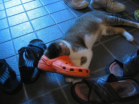 くるん,カール,耳,愛らしい,猫,メリカンカール,画像,貼っていく002