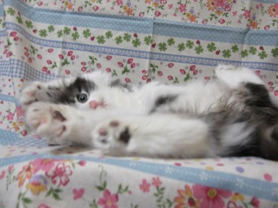 甘えん坊,寂しがり屋,猫,ノルウェージャンフォレストキャット,画像,貼っていく002