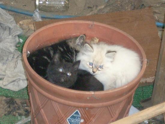 のほほん,のんびり屋,ペルシャ,猫,画像,貼っていく002